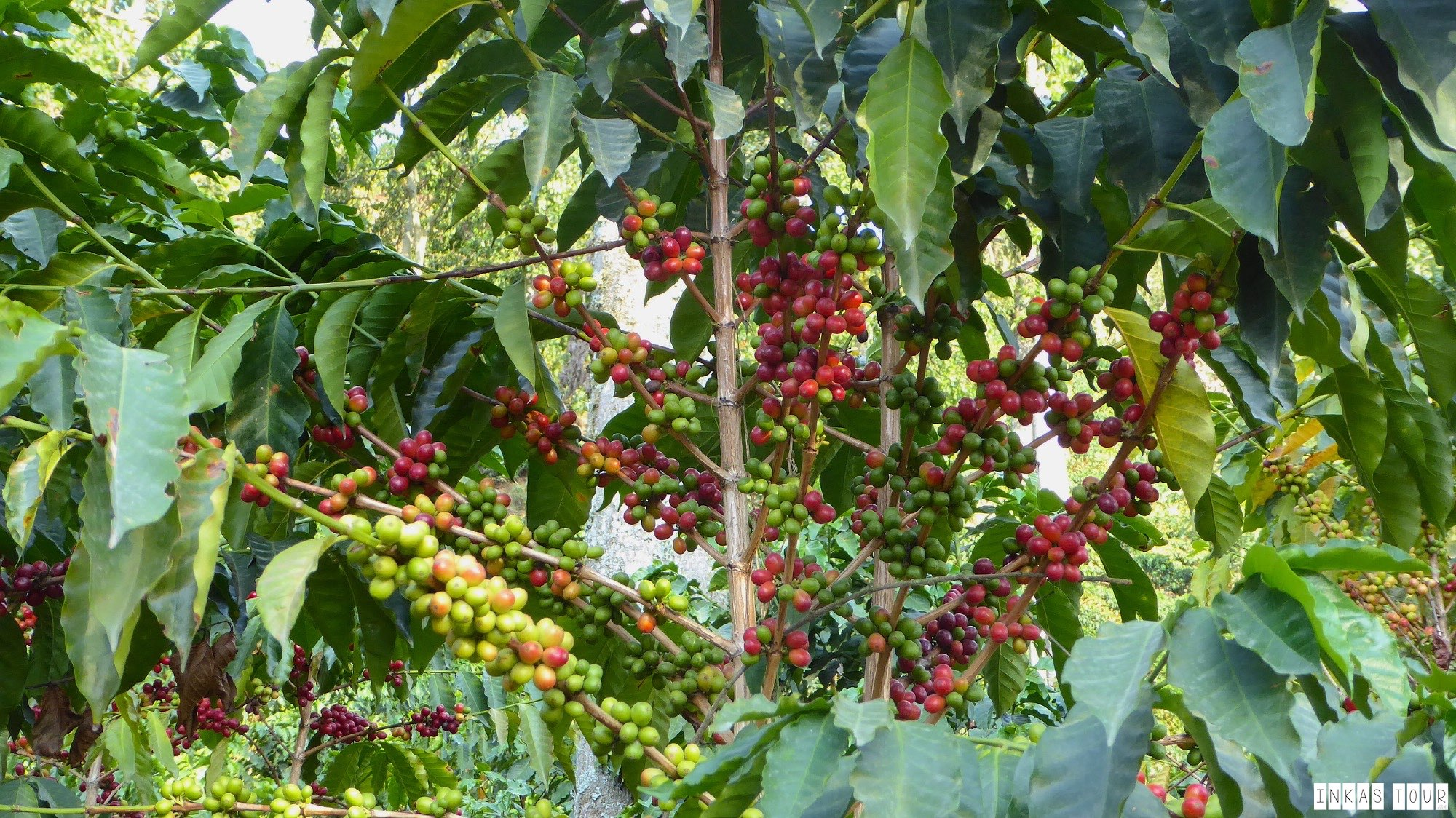 Columbia Coffee Farm Plantation