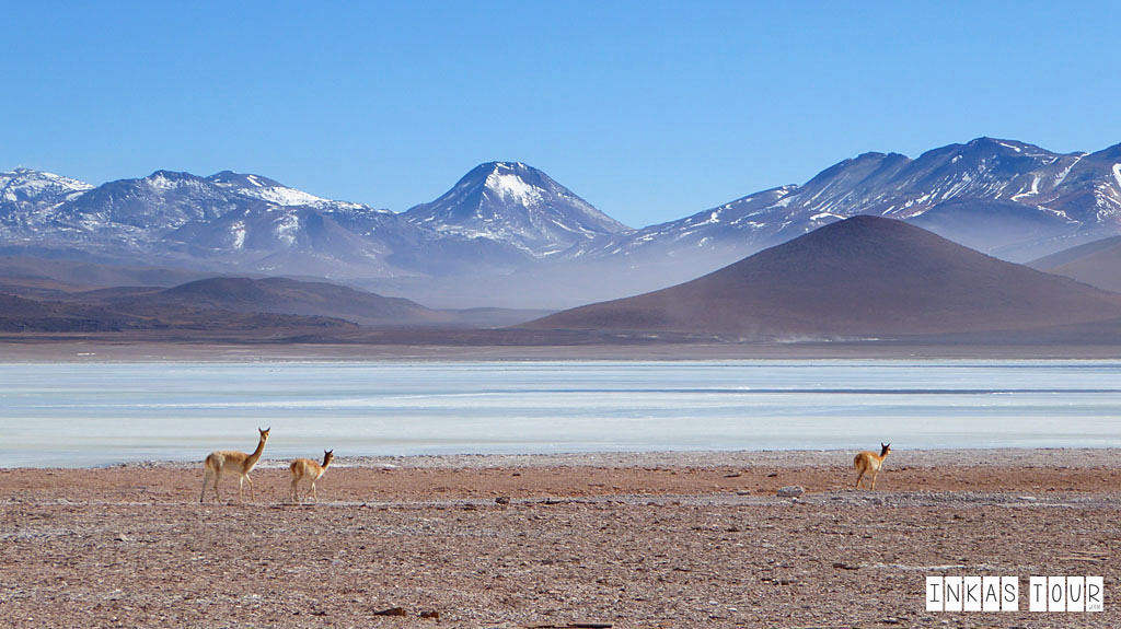 mountain and vicuna,Uyuni salt flats tour
